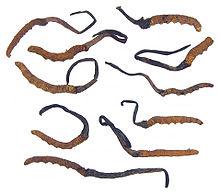 il cordyceps sinensis
