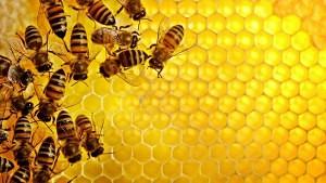 Moria delle api e abbuffate inconsapevoli
