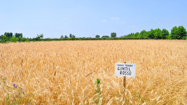 La farina di grano tenero Gentil Rosso